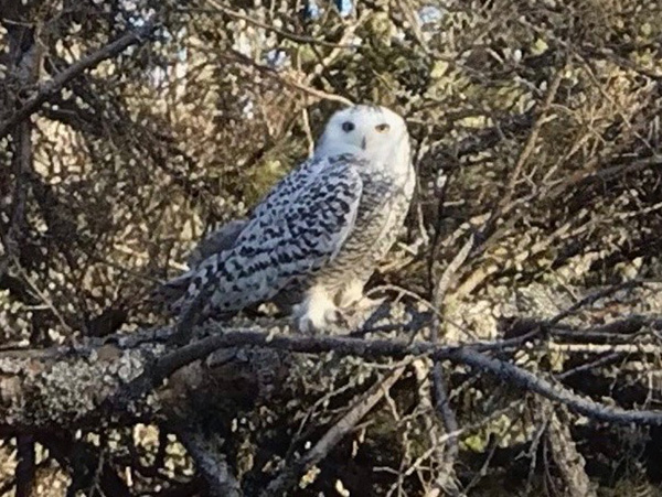 2020 12 Snowy Owl With No Snow