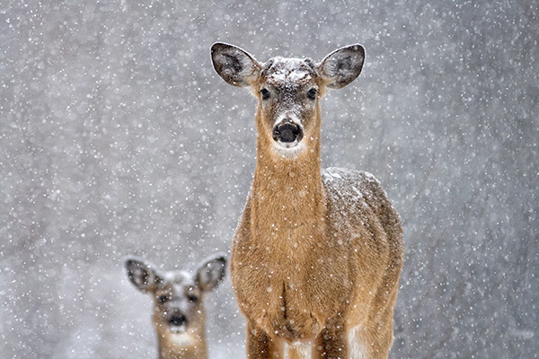 Two Deer In The Snow 508552874 3888x2592