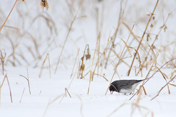 Dark Eyed Junco Foraging