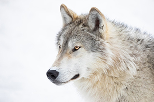 Gray Wolf Close Up In Winter Snow