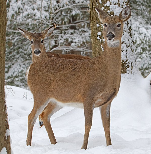 Deer In Snow 0556 Ps V