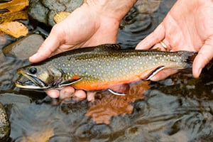 Brook Trout01