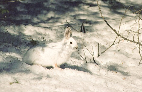 Snowshoe Hare By John Hall