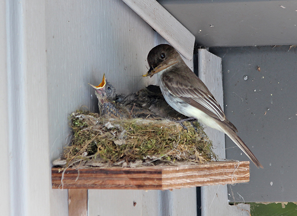 Eastern Phoebe At Nest 3734 Ps C
