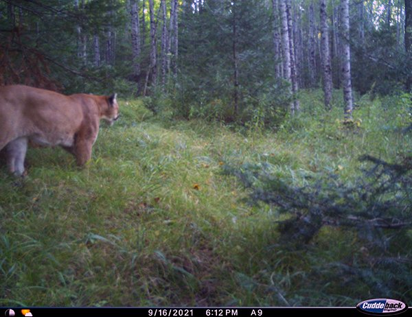 Dickinson County Cougar Picture