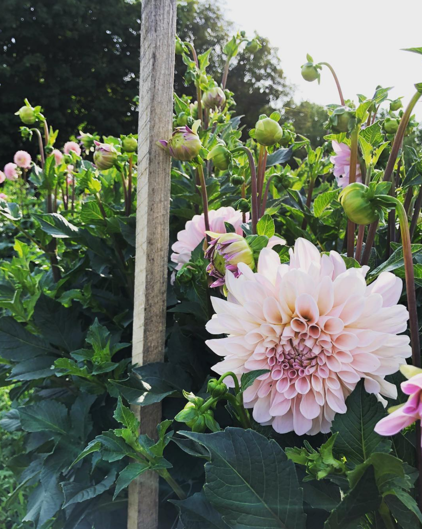 Flower power at the dahlia shed in middletown rhode island monthly photo credit amy rodrigues izmirmasajfo