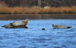 Westerly Nature Cruise and Seal Tour with Save The Bay @ Viking Marina | Westerly | Rhode Island | United States