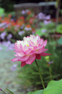 Lotus in Containers: A Year in Review @ Blithewold Mansion, Gardens, and Arboretum | Bristol | Rhode Island | United States