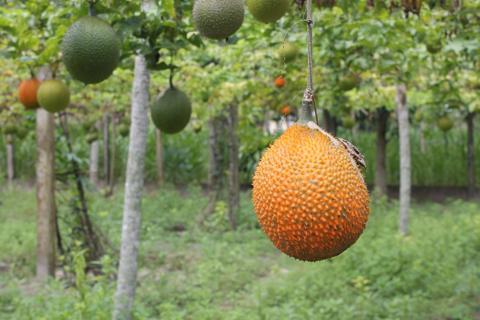 The Dish: Brown Grads Blend Vietnamese Gac Fruit into X O I